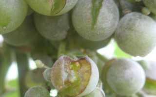 Почему виноград лопается и что делать