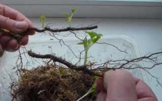 Размножение малины отпрысками и корневыми черенками