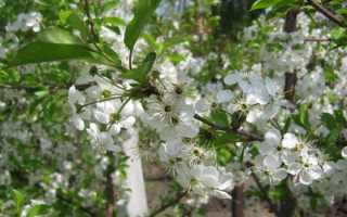 Вишня цветет, но не плодоносит: почему не завязывается, что делать