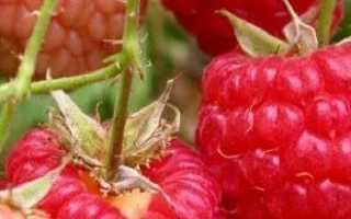 Уход за малиной осенью повышает иммунитет и урожайность