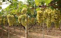 Как прививают виноград правильно на старый куст и другие способы