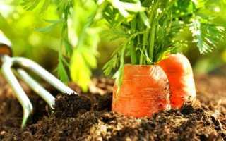 После чего сажать морковь на следующий год для хорошего урожая