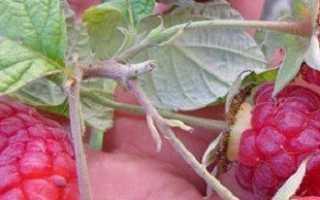 Самостоятельная обрезка малины осенью, зачем это нужно? + Видео