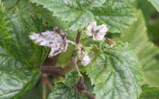 Белый налет на листьях смородины: причины, как бороться