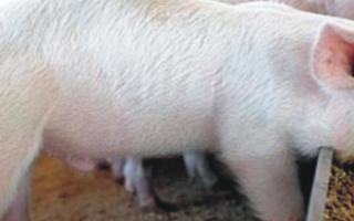 Корма – свиноводство с эффективным наращиванием массы + Видео