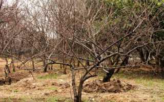 Подготовка вишни к зиме