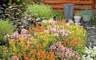 Агастахе «Аризона» — оригинальная новинка среди однолетних цветов