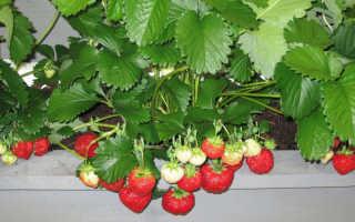 Можно ли ремонтантную клубнику выращивать дома зимой и как это правильно делать