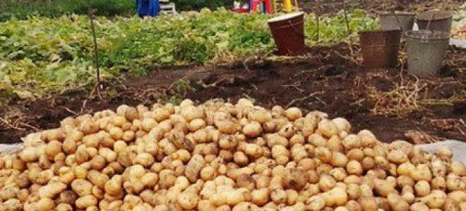 Когда копать картошку и начинать уборку урожая