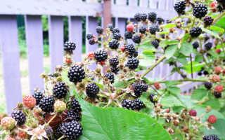 Чем и как подкармливать ежевику для большого урожая: схема внесения удобрений весной, летом, осенью
