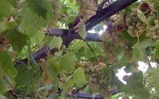Виноград на балконе — как получить урожай в домашних условиях