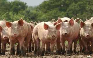 Домашний бизнес свиноводство как выгодное вложение капитала + Видео