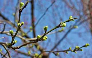 Обрезка вишни весной: советы для начинающих, а также особенности омолаживания растения, схемы и видео