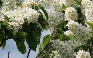 Когда цветет черемуха и какие сельскохозяйственные приметы с ней связаны? + Видео