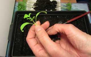 Голландский метод пикировки томатов «корнями вверх»