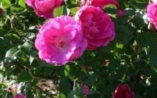Кустовые розы — быстро растут и менее привередливые