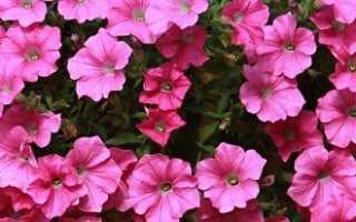 Махровые сорта петунии — красивее не бывает