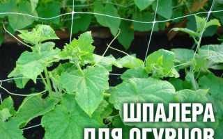 Выращивание огурцов на шпалере в открытом грунте