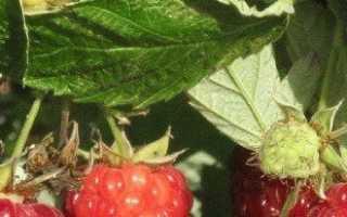 Когда лучше сажать малину — секреты удачливых садоводов