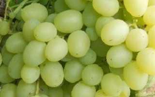 Борьба с осами на винограде и отпугивание птиц