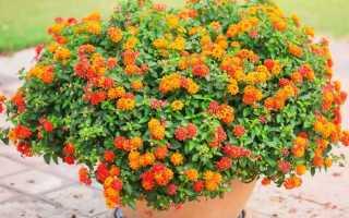 Комнатная лантана камара — красочный кустарник