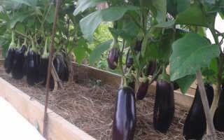 Что сажать после баклажанов на следующий год для отличного урожая