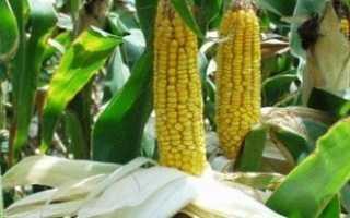 Как происходит посадка кукурузы и какая должна быть норма высева?
