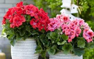5 недолговечных комнатных растений с обильным цветением летом