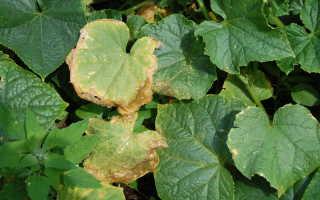 Почему желтеют и сохнут листья у огурцов, что с этим делать