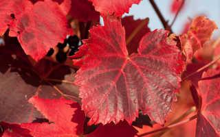 Красные листья у винограда — почему краснеют, как избавиться