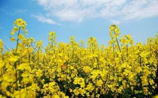Рапс как сидерат: когда и как посеять, скашивать и заделывать, отзывы огородников