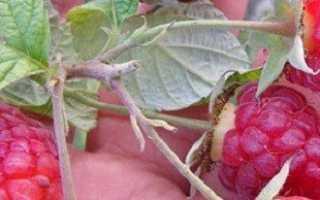 Обрезка малины осенью для больших и регулярных урожаев