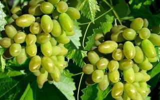 Виноград Арлекин: описание раннего сорта, фото, отзывы