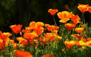Какие цветы можно посадить в июле на даче, в том числе многолетники, семенами и рассадой