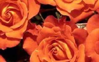 Лучшие сорта роз — Сантана, канадские, ругоза и др.
