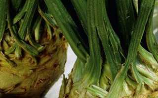 Сельдерей корневой — сорта и виды