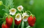 Клубника хорошо цветёт, но ягод мало: причины и решение проблемы