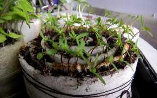 Посев томатов в улитку, в том числе пошаговое описание метода, а также отзывы о результатах