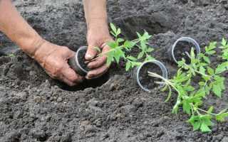 Высадка рассады помидоров открытый грунт