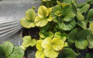 Желтеют листья у клубники: почему желтеют, что делать