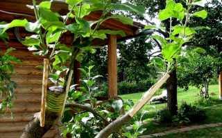 Подвой для яблони, как вырастить из семян, основные виды, схема посадки и прочее
