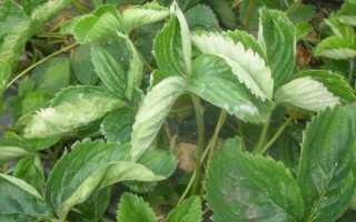 Скручиваются листья клубники: почему, как бороться