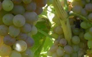 Делаем опрыскивание винограда с умом, соблюдаем сроки и технологию