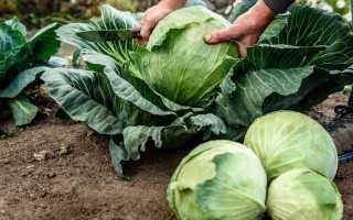 Как правильно подкармливать капусту?