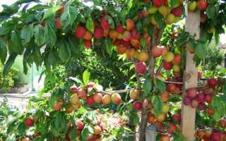 Сорт сливы Скороплодная, описание, характеристика и отзывы, особенности выращивания
