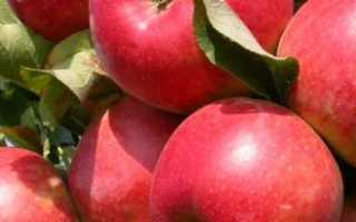 Колонновидная яблоня сорта Президент: описание и характеристика сорта, достоинства и недостатки, особенности посадки и ухода + фото и отзывы