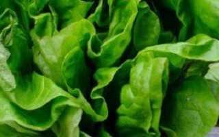 Салат латук – полезные свойства зелени + Видео