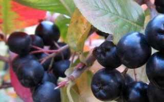 Черноплодная рябина – выращивание и уход за ней простой + Видео