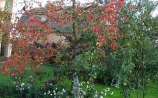 Краснеют листья у груши: почему, что делать