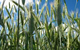 Рожь как сидерат: посадка и выращивание, нужно ли косить, закапывать и когда